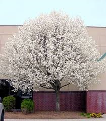 Chenin Blanc Viognier blend Pear tree